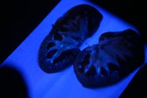 光る糸球体02~ブタの腎臓解剖